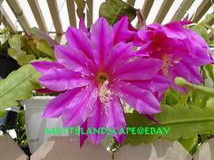 Epiphyllum hybrid 'Spacerocket'
