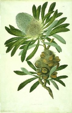 Historical botanical illustration of the day Banksia serrata. A species of woody shrub native to east coast Australia. One of the four original Banksia species collected by Joseph Banks in Illustration: John Frederick Miller Australian Painting, Australian Art, Vintage Botanical Prints, Botanical Drawings, Botanical Flowers, Botanical Art, Australian Native Flowers, Aboriginal Artists, My New Room