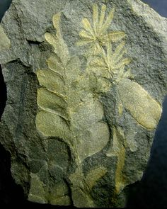 Fossil of plants from late Carboniferous era - 298 to 324 million years old. photo: Peter Cristofono.