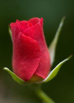 A Red Rose by Virginia Morales-Autenrieth