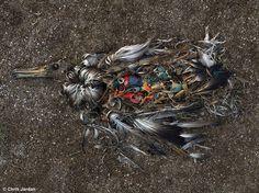 Carcaça de um albatroz-de-laysan (Phoebastria immutabilis). Processo de decomposição evidencia a causa da morte.