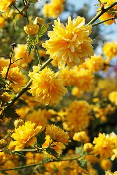 Hardy, spring blooming shrub - lovely Photograph Kerria japonica flore plena - by Hiwa  on 500px