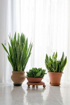 Snake plant care guide to ensure that your snake plant benefits from healthy conditions, so you can enjoy its splendor for many years to come. Living Room Plants, House Plants Decor, Plant Decor, Succulents Garden, Garden Plants, Planting Flowers, Sansevieria Plant, Snake Plant Propagation, Sansevieria Trifasciata