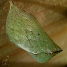 #unabellagiornata 175/365 Spettacolo di trasformismo di Lady Papilio Machaon