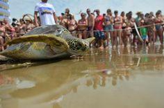 Soltura em Navegantes mobilizou amigos das tartarugas sobreviventes de uma rede de pesca