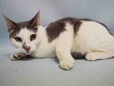 SASSY - A1058345 - - Manhattan   ***TO BE DESTROYED 11/23/15*** ANOTHER OWNER DUMP because the owner was too lazy or incompetent to find a new dwelling that is cat-friendly! One would think that an owner of a cat, a cat that had been theirs for the 4 years of the cats whole LIFE, would find it in their hearts to take their pet with them! BUT NO! INSTEAD, just drop SASSY off at the nearest HIGH KILL SHELTER and go on your merry way! The SASSY girl is scared and confused and