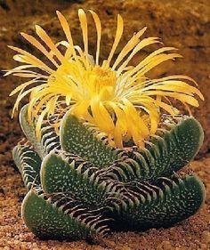 Tropica - cactus - (Faucaria trigrina) - 40 semi Kakteen ... https://www.amazon.it/dp/B00200H4HK/ref=cm_sw_r_pi_dp_x_9x2izbZNMP44V