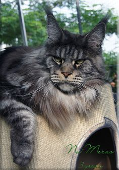 Nu Merus, 3 years old male Maine Coon. He is a gorgeous Maine Coon with the wild feral look. http://www.langstteichs.de/