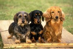 Here Are 12 Awesome Facts About Dachshunds.