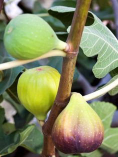 A perfectly ripe fresh fig is a delicacy to enjoy and share -- if you can part with some of your prized crop. Native to the Mediterranean region, figs thrive in long, hot, dry summers but are easy to grow in the landscape or in pots and will often regenerate if they freeze to the ground.
