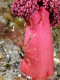 Soft coral squat lobster ~ By Nick Hobgood