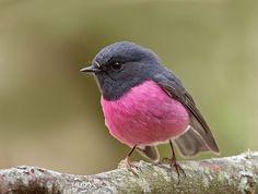 #Pink #Robin of south-eastern #Australia