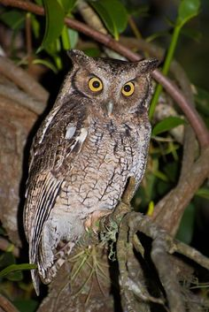 Long-tufted_Screech Owl (Megascops sanctaecatarinae) by Claudio_D_Timm.