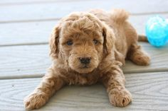 Teacup Goldendoodle family friendly and only lbs ready Sep 13 Goldendoodle Miniature, Super Cute Puppies, Retriever Puppy, Puppies For Sale, Animals And Pets, Puppy Love, Cuddling, Tea Cups