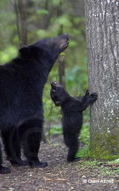 ~~Black bear spring Cub looking at mother   Black Bear by Cheryl Ertelt~~