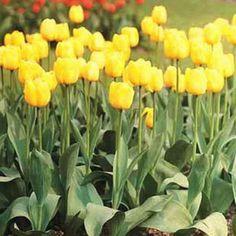 Tulip Mrs. JT Scheepers