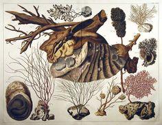Albert Seba TAB CVII from Locupletissimi Rerum Naturalium Thesauri  Published:  Amsterdam  1743-1765 Copper plate engravings Dimensions:  17 x 22 inches