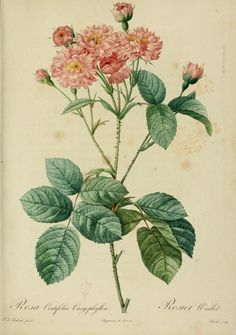 Rosa Centifolia. From 'Les Roses' (1817–1824) by P.J. Redouté (1759-1840). California State Library. archive.org