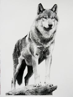 "Alpha by William Harrison Wolff Carbon Pencil ~ 41"" x 29.5"""