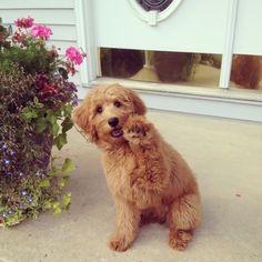 #minigoldendoodle #goldendoodle #puppy