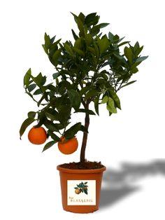 Süße Orangen selbst ernten!