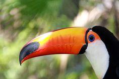 Brilliant Colors Of The Toucans