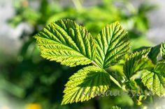 Plant Leaves, Fresh, Natural, Plants, Plant, Nature, Planets, Au Natural