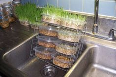 Growing Fodder for Rabbits - Pet Rabbit ideas… Make your own fodder system to grow fresh grass for your favorite bunny - Bunny Cages, Rabbit Cages, House Rabbit, Rabbit Toys, Bunny Rabbit, Rabbit Garden, Bunny Toys, Meat Rabbits, Raising Rabbits