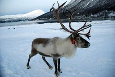 Reindeer images   reindeerinwinter