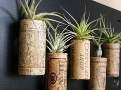 Airplant Magnets! Awesome idea. Live Tillandsia plants atop corks; just hold under running water once a week.