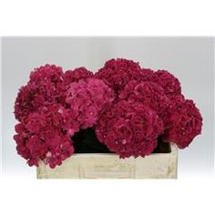 Hydrangea: Magical Rubyred    Dutch Farm Direct - Two Days A Week - Wednesday & Friday delivery. We ship To All 50 States!!     Create Your Own Combo Boxes at Farm Level. Wholesale To The Trade Only.   No Sign Up Fees Or Obligations - No Fuel Or Box Charges. Free FedEx   Shipping Is Always Included In The Price!!    Please follow us here on   Facebookhttps://www.facebook.com/ibuyflowersllc/