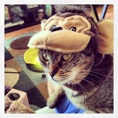 """""""Siriusly, U'be gowt 2b qiddin  mee…"""" #SimonAndStellaCats #Stella #Simon #cats #cat #kitty #kitties #kitteh #kittehs #gato #gatos #monkeybuns #furpig #neko #HappyHalloween #Halloween #kitty #kitteh #gato #squishyfac..."""