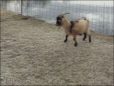 This long-horned goat who really wants this ice to understand that he is a goat and therefore can do whatever the hell he pleases. | 23 Goats Who Cannot Believe They're Really Goats