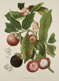 Mangosteen Botanical Illustration Berthe Hoola Van Nooten 1880