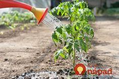 Toto by mal vedieť každý, kto pestuje paradajky: 11 tajomstiev, ako dopestovať bohatú úrodu šťavnatých a chutných plodov! Tomato Farming, Tomato Plants, Growing Tomatoes, Garden Plants, Outdoor Power Equipment, Garden Tools, How To Look Better, Herbs, Composting