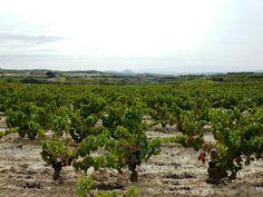 Viñedos en la Rioja Alavesa (España)