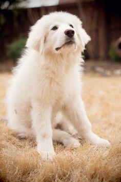 #greatpyrenees #gentlegiant #dogphotography #puppies #beautiful
