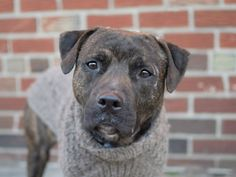 TO BE DESTROYED - 01/25/15 Brooklyn Center -P  My name is THOR. My Animal ID # is A1023575. I am a neutered male bl brindle staffordshire mix. The shelter thinks I am about 2 YEARS old.  I came in the shelter as a RETURN on 01/10/2015 from NY 11207, owner surrender reason stated was NO TIME.
