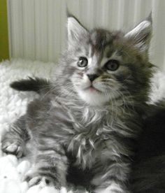 silver tabby male maine coon http://www.mainecoonguide.com/where-to-find-maine-coon-kittens-for-sale/