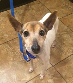 Check out Cesar's profile on AllPaws.com and help him get adopted! Cesar is an adorable Dog that needs a new home. https://www.allpaws.com/adopt-a-dog/toy-fox-terrier-mix-rat-terrier/5862567?social_ref=pinterest
