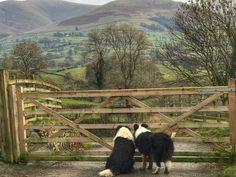 Border Collies surveying their realm. by Alison O'Neill