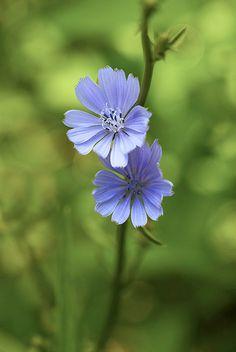 Wild Chicory - by Bernie Kasper  Favorite lavender color