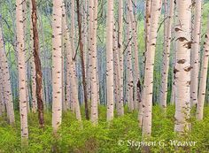 ... , with a shared root system. You will never see a lone aspen tree