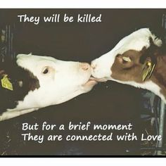 End factory farming Animal rights OMG Stop the abuse. Farm Animals, Cute Animals, Her Calves, Factory Farming, Vegan Quotes, Why Vegan, Stop Animal Cruelty, Animal Welfare, Animal Rights