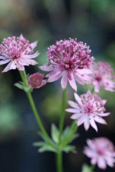 Astrantia Major, Garden, Flowers, Plants, Balcony, Pink, Terrace, Garten, Flora