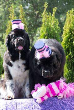 Notta Bear Newfoundlands dogs wonderland birthday tea party
