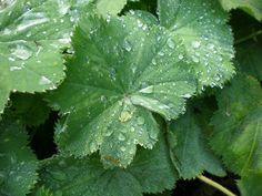 Alchemilla mollis (Vrouwenmantel) | VASTE PLANTEN | Tuinplanten stekplek