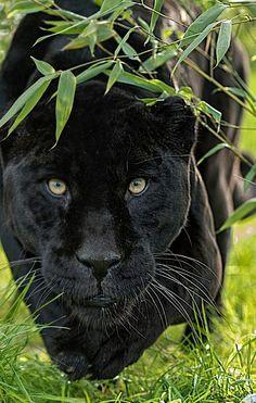 "beautiful-wildlife: ""Black Jaguar by © Colin Langford "" Black Panther Cat, Black Panther Tattoo, Black Panthers, Panther Symbolism, Jaguar Tier, Beautiful Cats, Animals Beautiful, Animal Jaguar, Gato Grande"