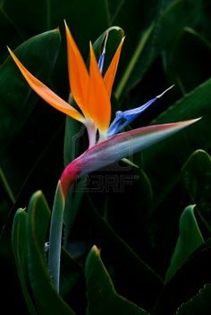 Bird Of Paradise Plant Stock Photos, Pictures, Royalty Free Bird Of Paradise Plant Images And Stock Photography