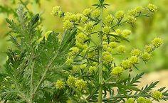 Ez a gyógynövény kevesebb, mint 1 nap alatt elpusztítja a rákos sejteket! Getting Rid Of Mucus, Artemisia Annua, Natural Cures, Health And Beauty, Herbalism, The Cure, Essential Oils, Health Fitness, Healing